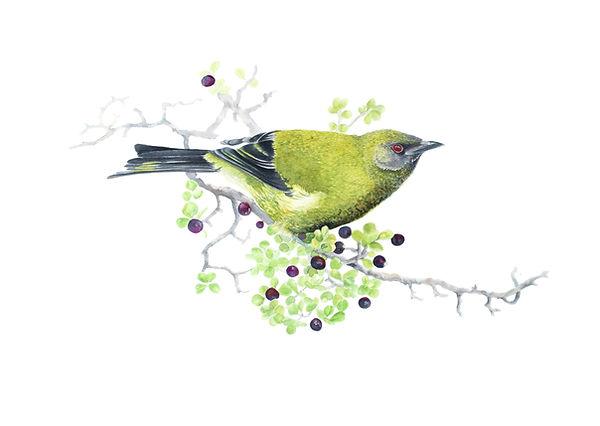 NZ Bellbird Watercolour Framed 580x480.j