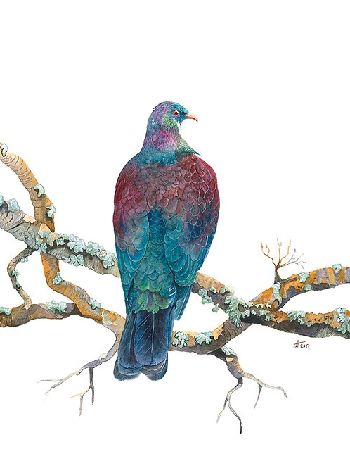 NZ Kereru card