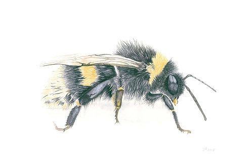 'Humble Bee'