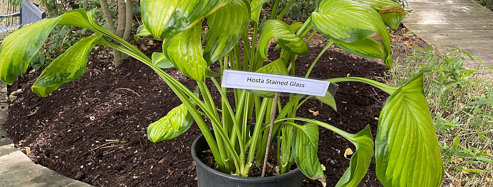 Hosta Stained Glass (Large/Mature)