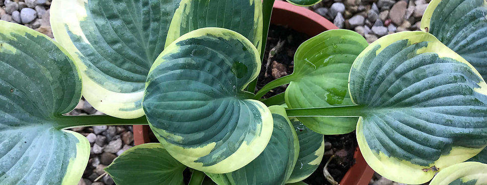 Hosta Stepping Out