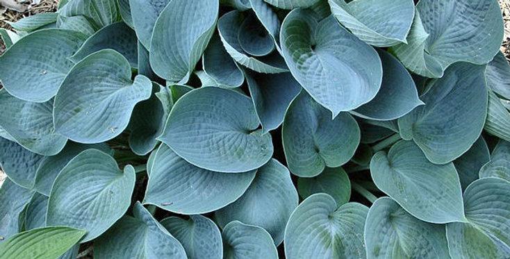 Hosta Blue Wedgewood