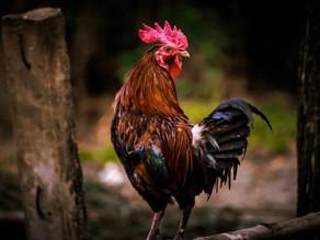 El Gallo Patricio