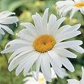 Daisy, Wall of Flowers.jpg