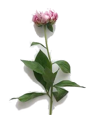 peony2_edited.png
