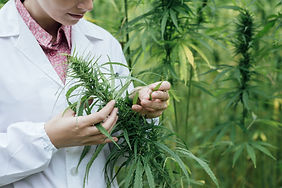 Scientist cannabis examination