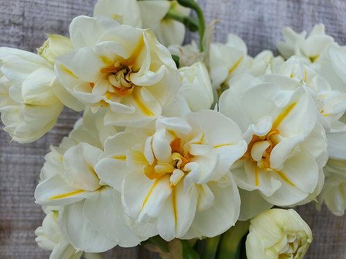 Daffodil S. Winston Churchill