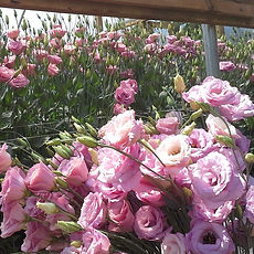 Pink Lisianthus in High Tunnel.jpg