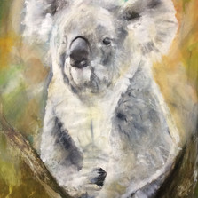 Koala Oxley