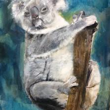 Koala Ziv