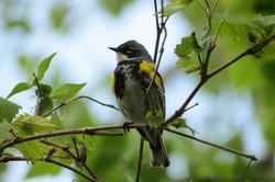 Myrtle (Yellow-rumped) Warbler
