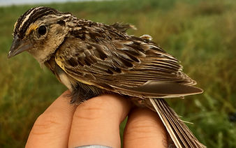 Adult Grasshopper Sparrow in the hand