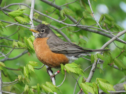 American Robin (banded)