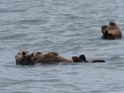 Sea Otters with pups