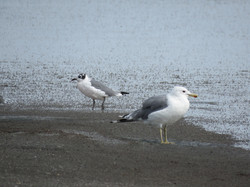 Franklin's and California Gull
