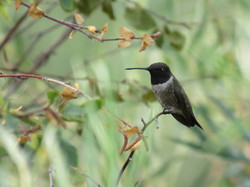 Violet-chinned Hummingbird