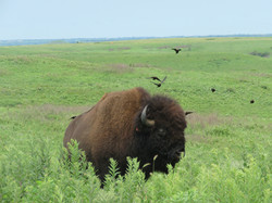 Bison with Brown-headed Cowbirds