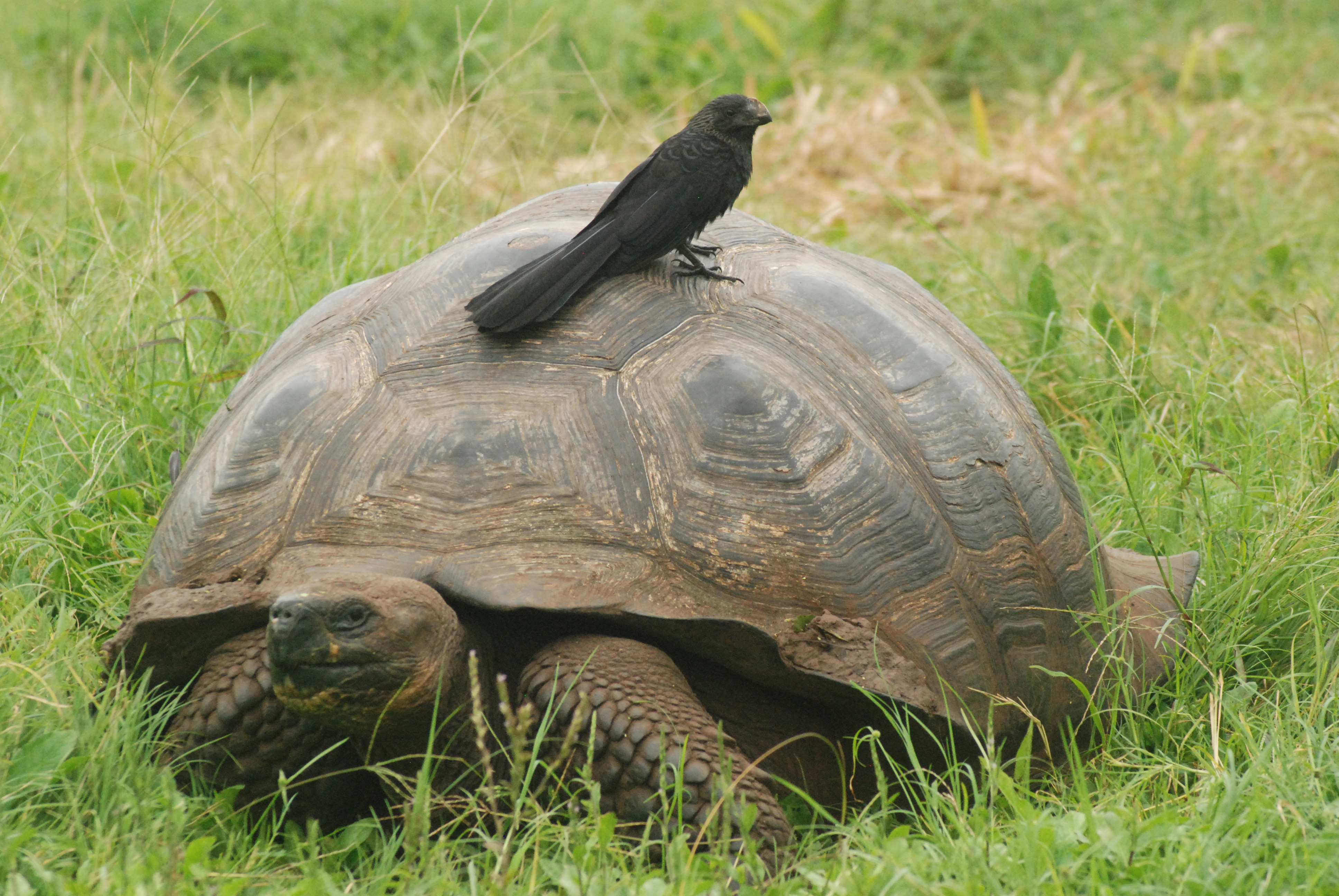 Smooth-billed Ani and Tortoise