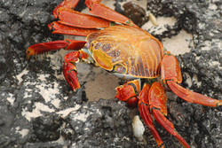 Sally Light-foot Crab