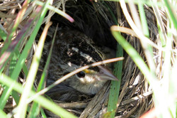 Grasshopper Sparrow on nest
