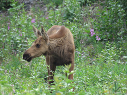 Juvenile moose