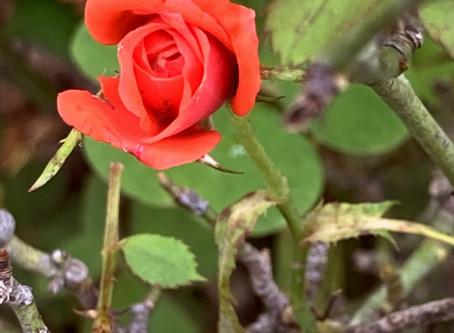 ¿Cómo puede una rosa ser inoportuna?