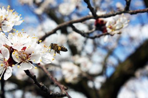 Dolgozik a méhecske