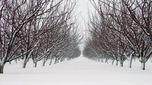 Téli hótakaró az ültetvényen.