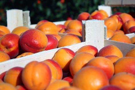 Hibátlan és érett gyümölcsöt mindig nagy öröm szüretelni.