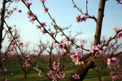 Virágzik az őszibarack.