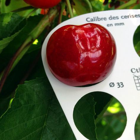 Korai, nagy méretű cseresznyéből több fajtával is dolgozunk.