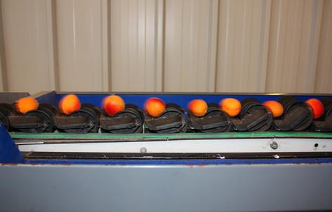 Igény esetén modern válógatógéppel osztályozzuk a gyümölcsöket.