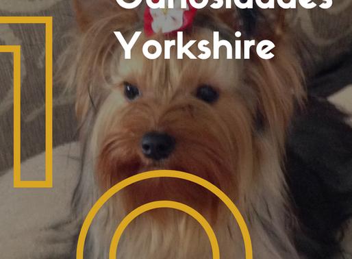 10 curiosidades incríveis sobre a raça Yorkshire Terrier
