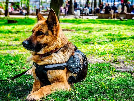 O uso do Pastor Alemão como cão policial em busca de drogas, explosivos e muito mais