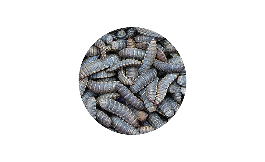 larvae for website.png