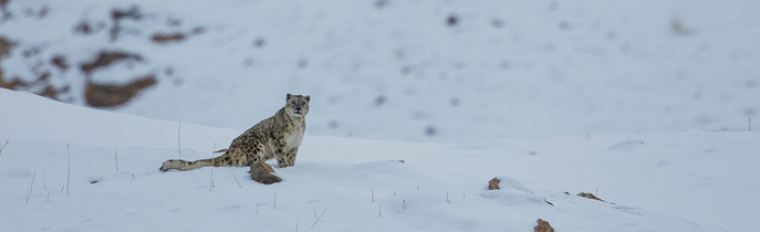 Snow Leopard Expeditions India