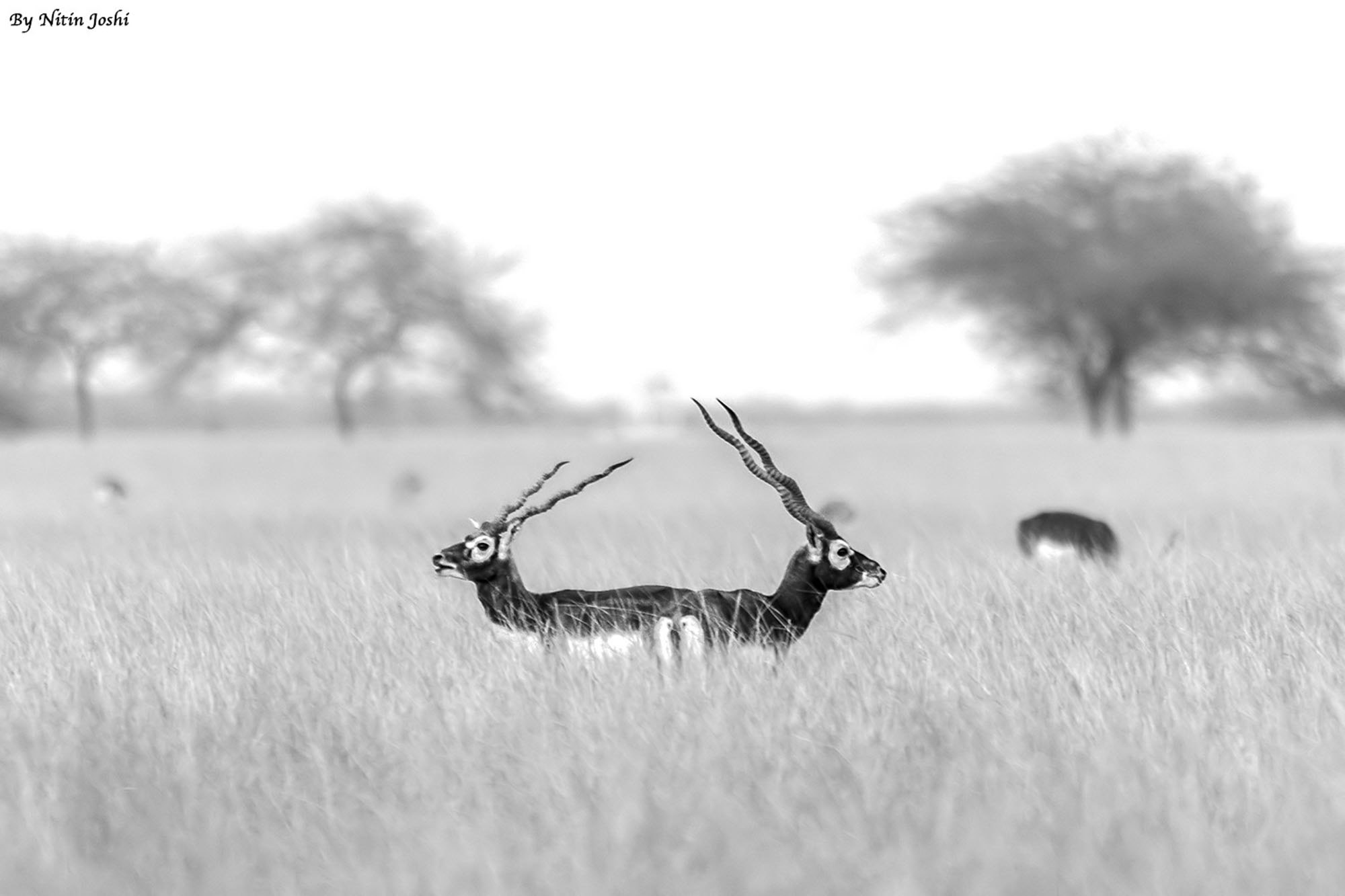 BlackBucks B&W