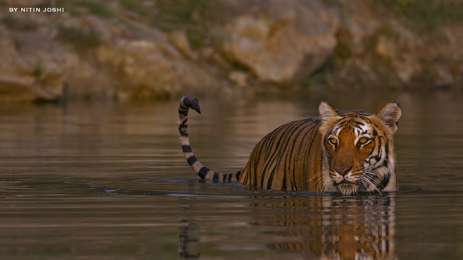 Tiger- An evening with Paarwali