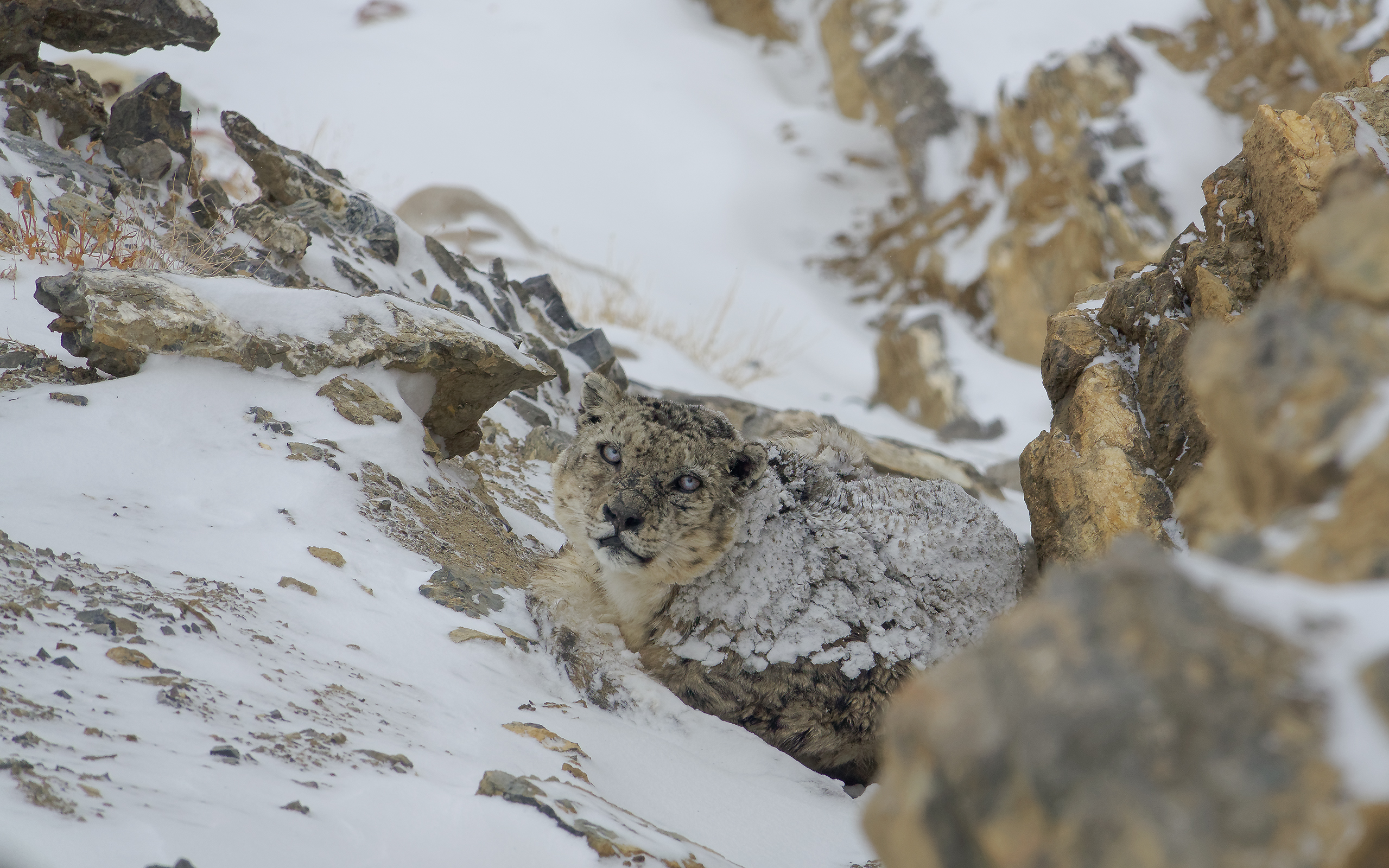 Perfect Camouflage - Snow Leoprad