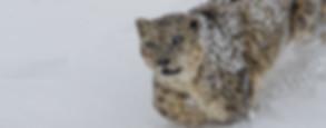 SnowLeopard_Closeup.jpg
