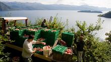 Frukthøsten i Hardanger