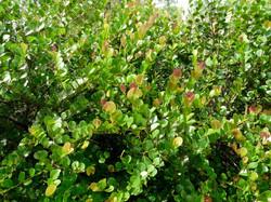 chrysobalanus icaco red tip.jpg