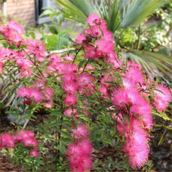calliandra_dixie_pink_1.jpg