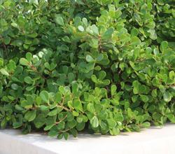 clusia rosea nana.PNG