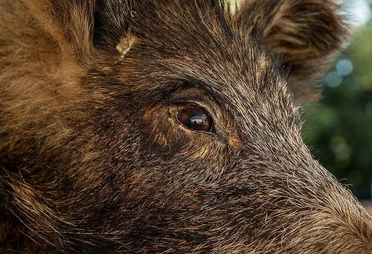 wild-boar-1437491_1920.jpg