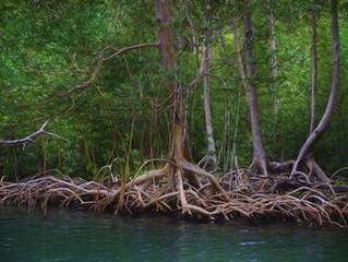 ¿Acaso sabías que los manglares constituyen uno de los ecosistemas más amenazados del planeta?