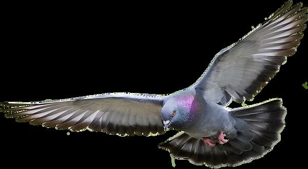 kissclipart-pigeon-png-clipart-homing-pi