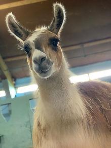 Tarquin the llama