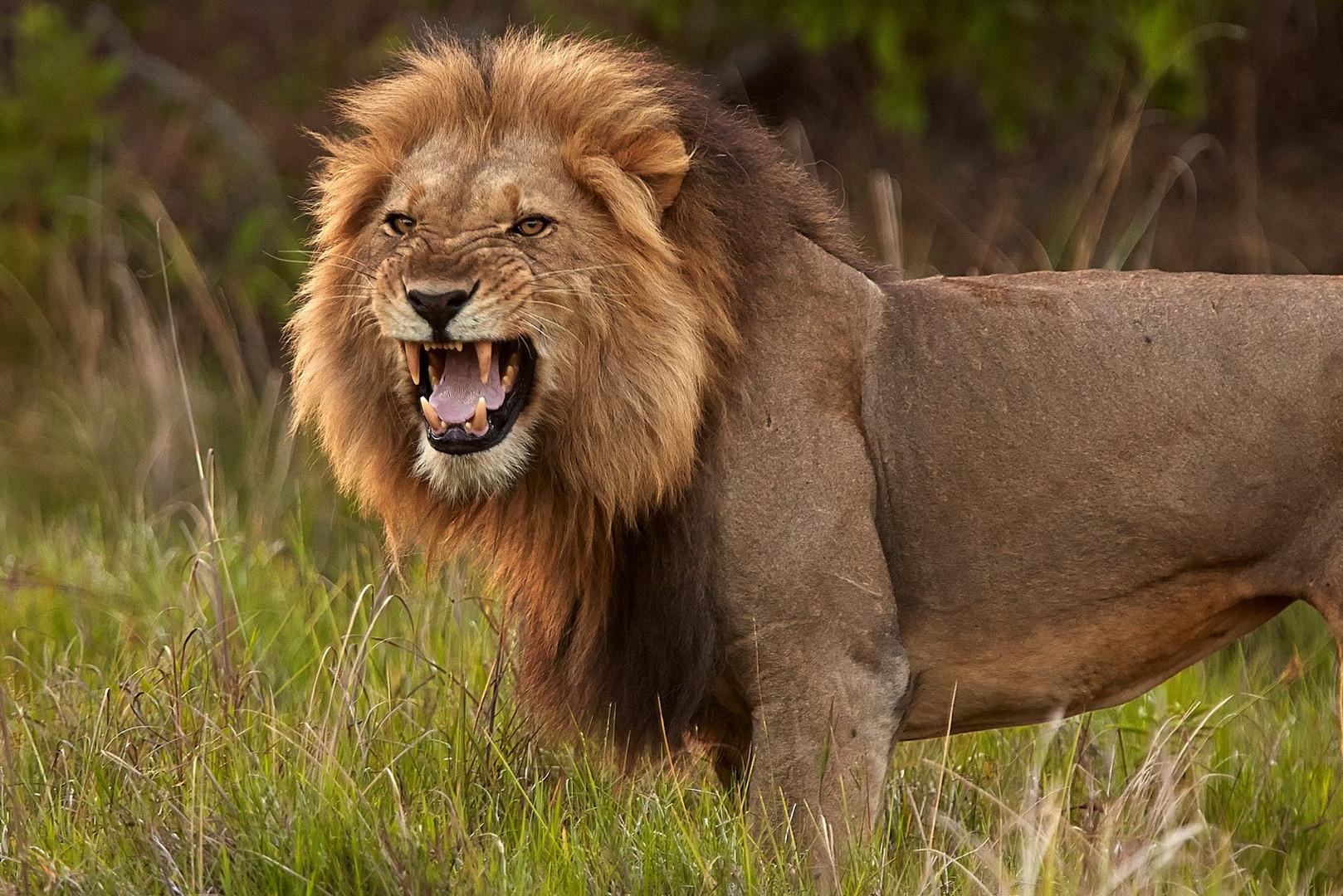 Nkala Lion