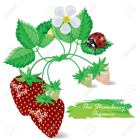 The strawberry fields of Gostinya